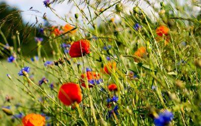 Help de bij, zaai gratis bloemenzaad